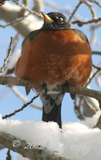 Robin in Feb snow1