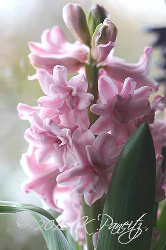Hyacinth 'Hollyhock3'