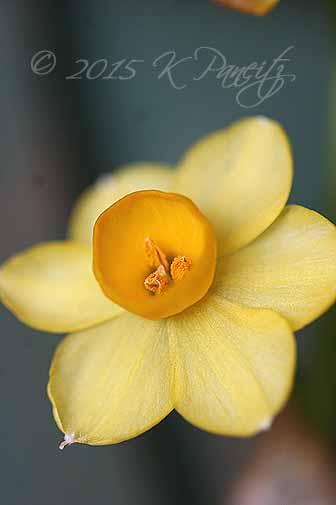 Narcissus3