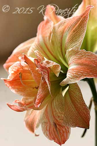 Amaryllis 'Exotic Nymph2'