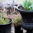 Overwintered perennials
