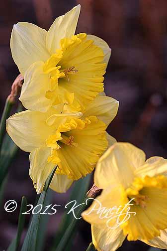 Narcissi 'Goblet1'