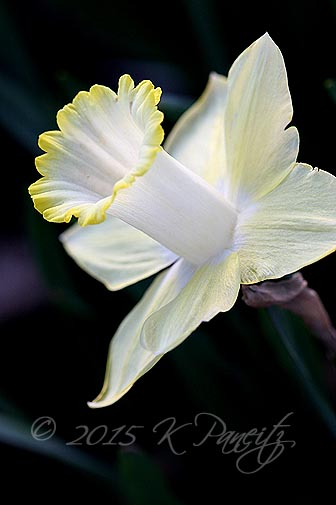Narcissi 'Lemon Glow2'