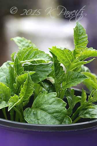 Dahlia growth1