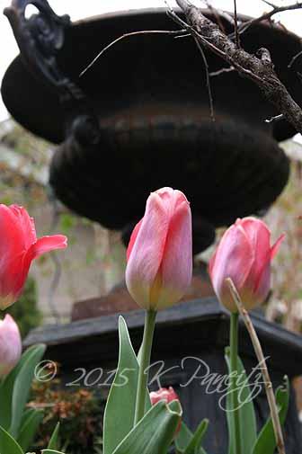 Tulips 'Big Chief'