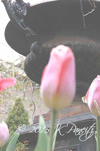 Tulips 'Big Chief2'