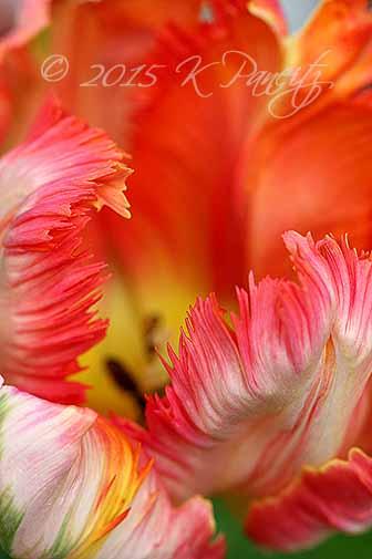 'Apricot' Parrot Tulip7