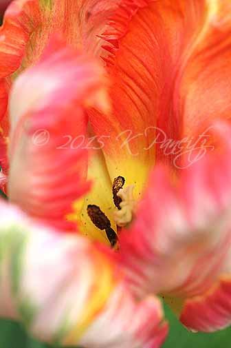 'Apricot' Parrot Tulip3