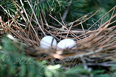 Mourning Dove nest1