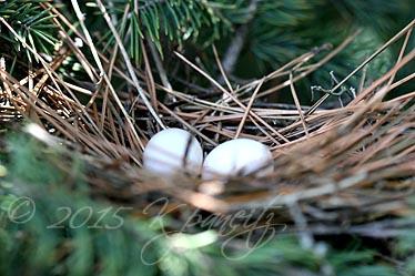 Mourning Dove nest1