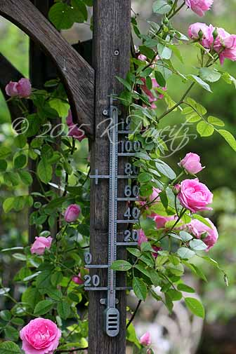 Pink Roses & Thermometer