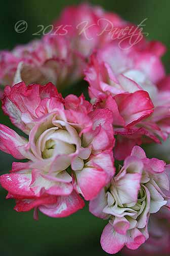 Pelargonium 'Apple Blossom' Rosebud1