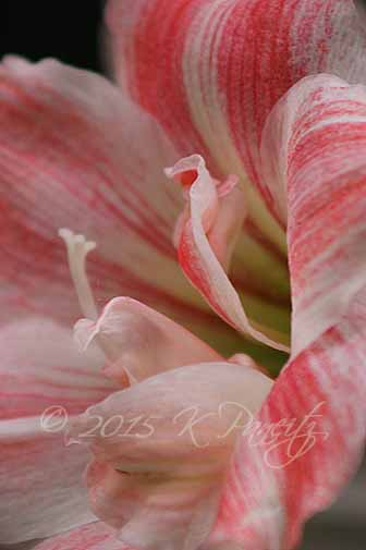 Amaryllis 'First Love2'