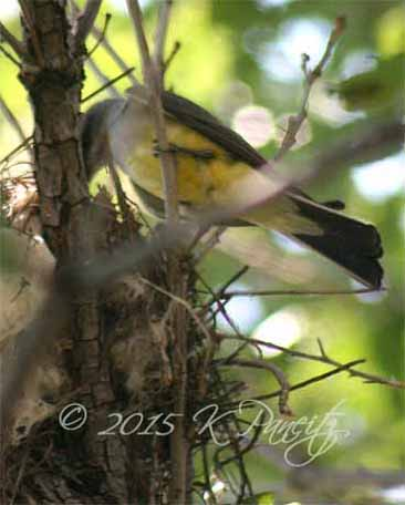 Western Kingbird at nest1