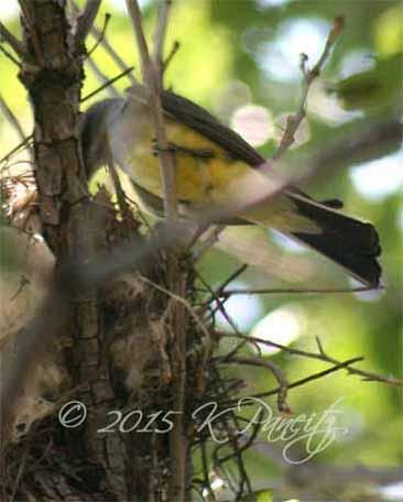 Western Kingbird at nest1