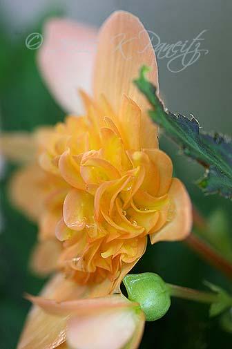 Begonia boliviensis hybrid 'Lucky Strike5'