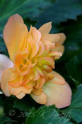 Begonia boliviensis hybrid 'Lucky Strike1'