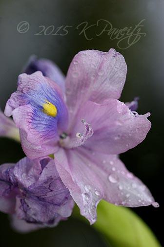 Water Hyacinth bloom