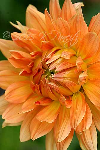 Dahlia 'Big Brother5'
