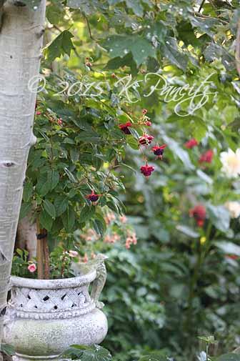 Fuchsia Standard2