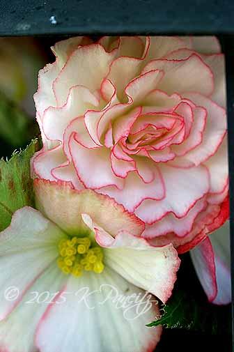 Begonia Lantern5