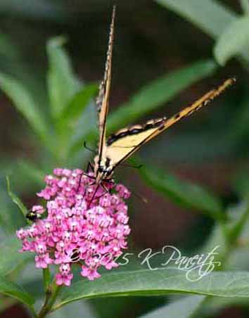 Western Tiger Swallowtail1