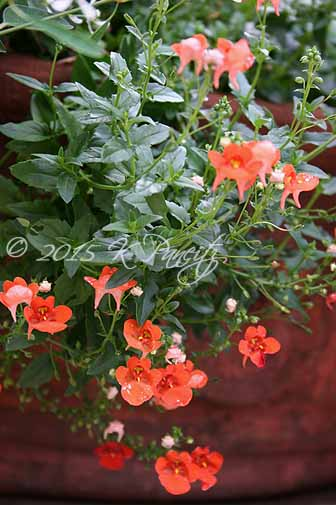 Diascia 'Orange Flirtation'
