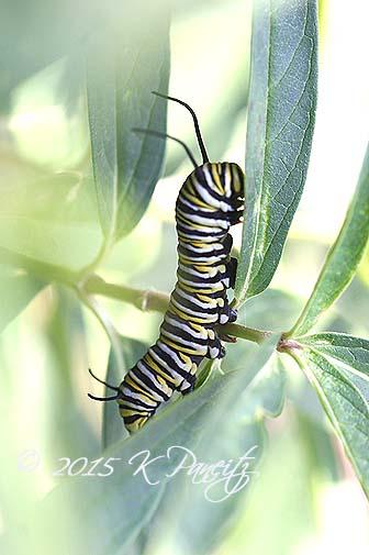 Monarch caterpillar3