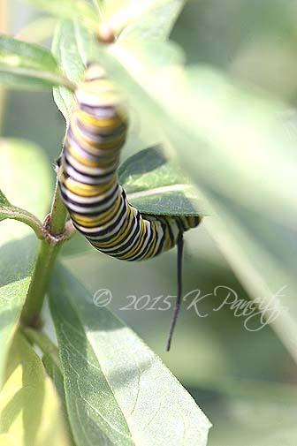 Monarch caterpillar4