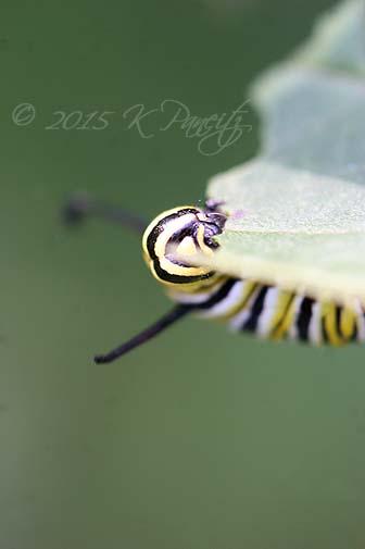 Monarch caterpillar5