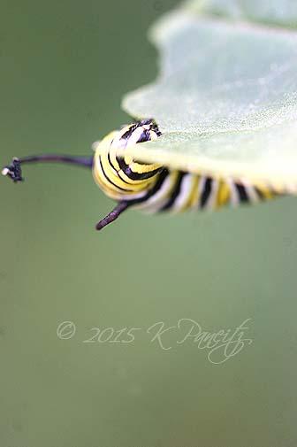Monarch caterpillar7