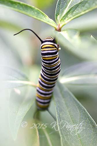 Monarch caterpillar9