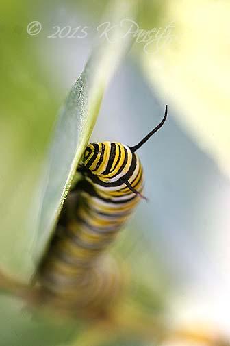 Monarch caterpillar16