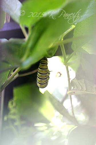 Monarch caterpillar pupating1