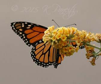 Monarch on Buddleia1
