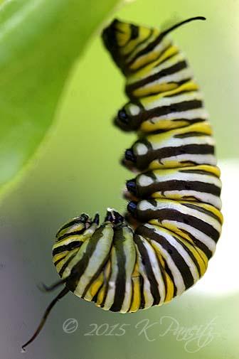 Monarch caterpillar pupating2