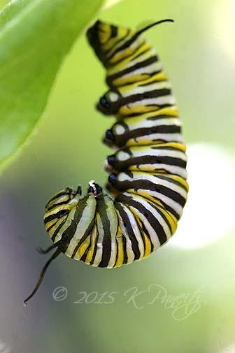 Monarch caterpillar pupating3