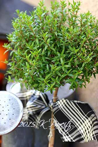 Myrtle Topiary6