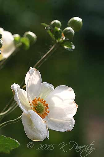 Japanese Anemone1
