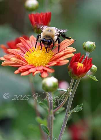 Chrysanthemum 'Rhumba' and bumble