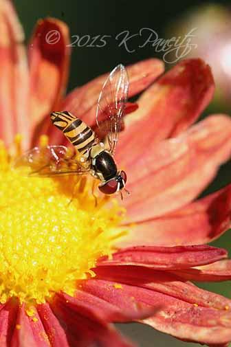 Chrysanthemum 'Rhumba' and bee