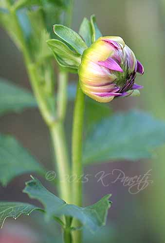 Dahlia 'Tropical' bud