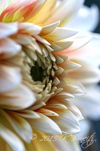 Dahlia 'Peaches 'n Cream'