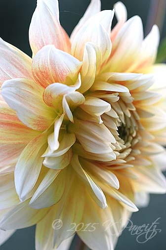 Dahlia 'Peaches n Cream3'