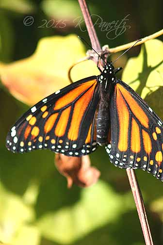 Monarch butterfly11
