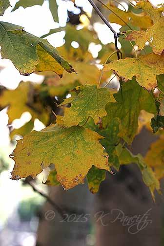 2015 Nov Maple Leaves1