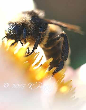 Bumblebee on Dahlia2