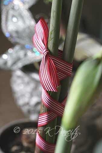 Amaryllis Ribbon1