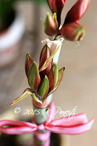 Amaryllis 'Ruby Star' buds