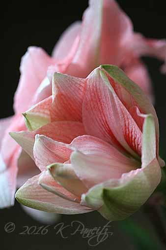 Amaryllis 'Pink Glory9'